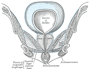 Urogenital diaphragm